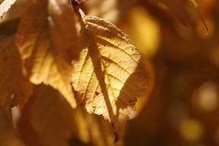 Sunlight through a golden autumn leaf