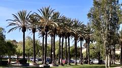 Santa Margarita's Date Palms