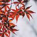 Momoji | 鸡爪槭