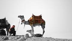 Η καμήλα και ο καμηλιέρης της