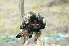 The golden eagle on the catch