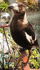 Magpie (7)