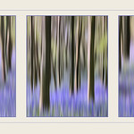 Bluebell Wood Tryptych by Martin Parratt