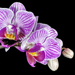 Orchid Splendour by Paul Seymour