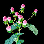 Pink Hypericum by Paul Seymour