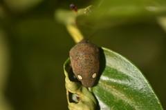 Solenosthedium bilunatum