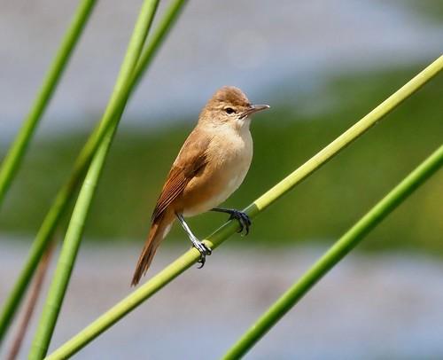 Reed Warbler - (Acrocephalus australis)