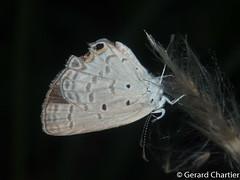 Euchrysops cnejus cnejus (Gram Blue)