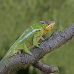Chameleon blending in by Stuart Barrett
