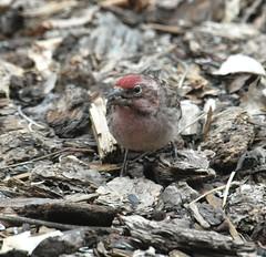 Cassin's Finch (Haemorhous cassinii) DSC_0063a