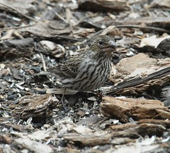 Cassin's Finch (Haemorhous cassinii) DSC_0052a