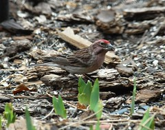 Cassin's Finch (Haemorhous cassinii) DSC_0042a