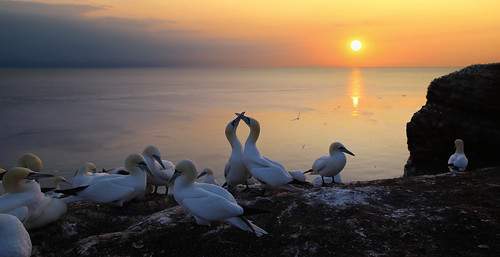 An unique mating dance of Northern Gannets at sunset