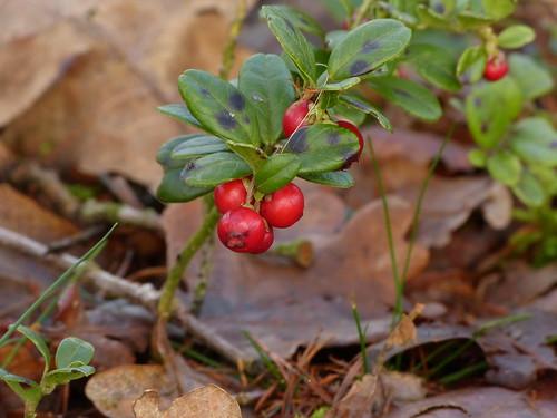 Cranberry / Kleine veenbes