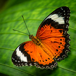 Orange Lacewing by Cosmin Dimitriu