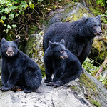 Black Bear Family_Anan Creek Alaska by June Sparham