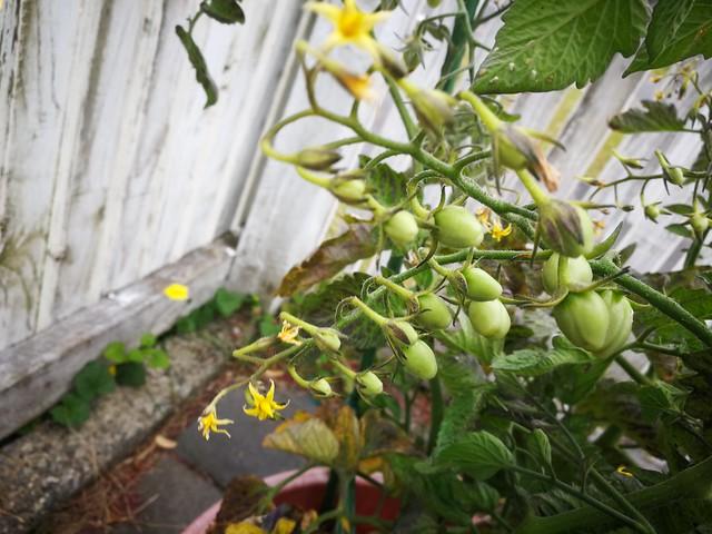 Rapunzel tomatoes