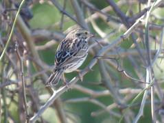 Savannah Sparrow, East Fork Park, Lake Lavon, Collin County, Texas, February 1, 2020