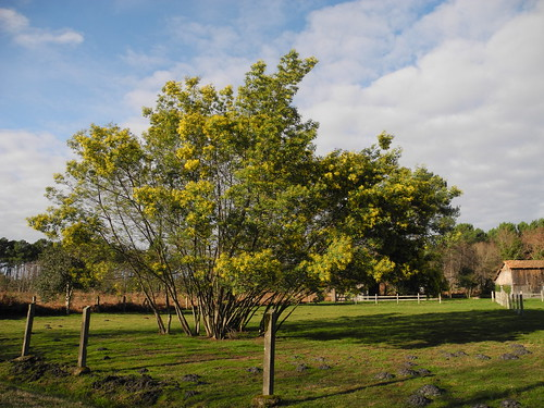 Mimosa d'hiver (Acacia dealbata) / Silber-Akazie / Акация серебристая
