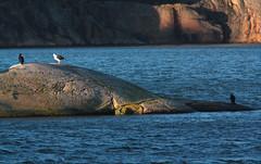 Storskarv, Phalacrocorax carbo, Great cormorant, Great black-backed gull
