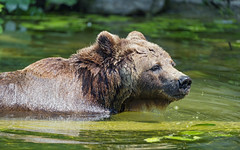 Profile of a brown bear in the water