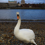 St Paul's Swan by Rob Draper