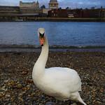 St Paul's Swan by Rob Draper