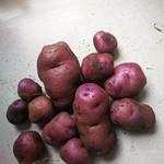 Stewart island potato
