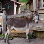 Wörschachberg, Esel Jimmy / Donkey Jimmy