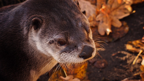 MondayFace - An otter basks in front of its pond in the wildlife park