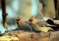 Waxwings on the fallen tree