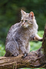 Wildcat on the branch