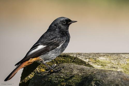 Rabirruivo-preto | Black redstart (Phoenicurus ochruros) ♂