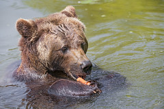 Brown bear eating carrot