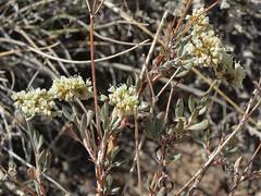 pinyon buckwheat, Eriogonum microthecum var. laxiflorum