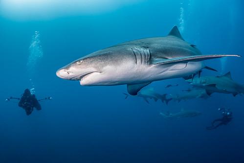 The Curious Sharks