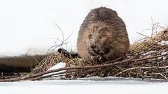 Beaver, Norway  (Castor fiber)