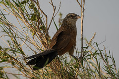 White-browed coucal or lark-heeled cuckoo (Centropus superciliosus)