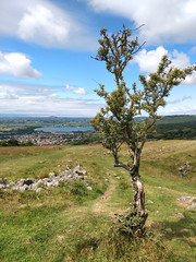 Thorn tree, Cheddar Gorge