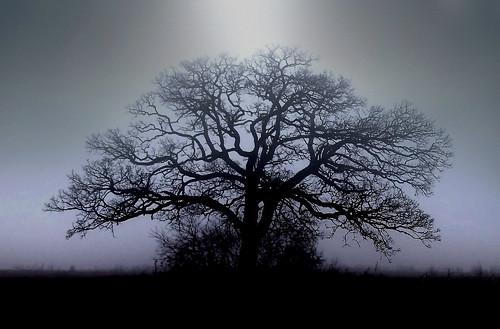 stately oak in misty glow