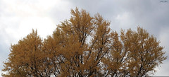 The Ginkgo Tree