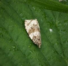 Orthotaenia undulana - Woodland Marble