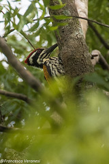 White-naped Woodpecker - Chinnar Forest - Kerala CD5A6705-