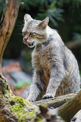 Female wildcat licking her nose