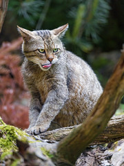 Female wildcat on the tree, showing tonge
