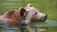 Brown bear swimming in the water