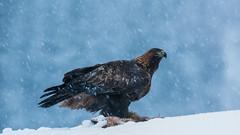 Golden eagle (Aquila chrysaetos) Kongeørn