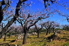 Ametllers florits i pedra seca, les Planes, Torrelles de Foix, Alt Penedès.