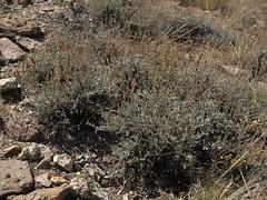 black sagebrush, Artemisia nova (gray form)