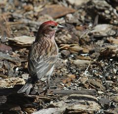 Cassin's Finch (Haemorhous cassinii)-0028
